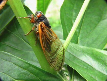 cicada season on the green inc md maryland