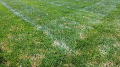 dollar spot lawn fungus on the green md maryland